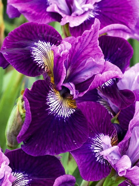 23 Juglone Tolerant Shade Plants Iris Lady Vanessa or Siberian Iris #Iris #LadyVanessaIris #SiberianIris #DeerResistant #AttractsHummingbirds #HumidityTolerant #ShadeTolerant #Perennials