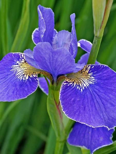 27 Juglone Tolerant Sun Loving Plants For Black Walnut Areas Iris Sibirica Silver Edge or Siberian Iris #Iris #IrisSilverEdge #SiberianIris #DeerResistant #AttractsHummingbirds #HumidityTolerant #Perennials