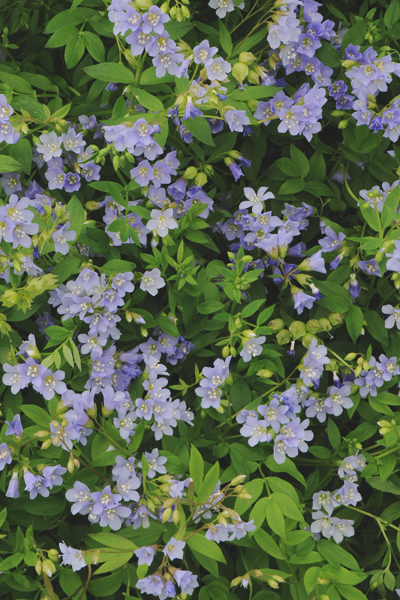 23 Juglone Tolerant Shade Plants Jacobs Ladder or Polemonium Reptans #JacobsLadder #PolemoniumReptans #GreekValerian #Perennials