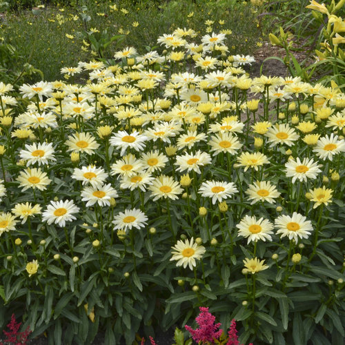 Ultimate Resource Guide to Gardening with Toxic Black Walnut Trees Leucanthemum Banana Cream Or Shasta Daisy