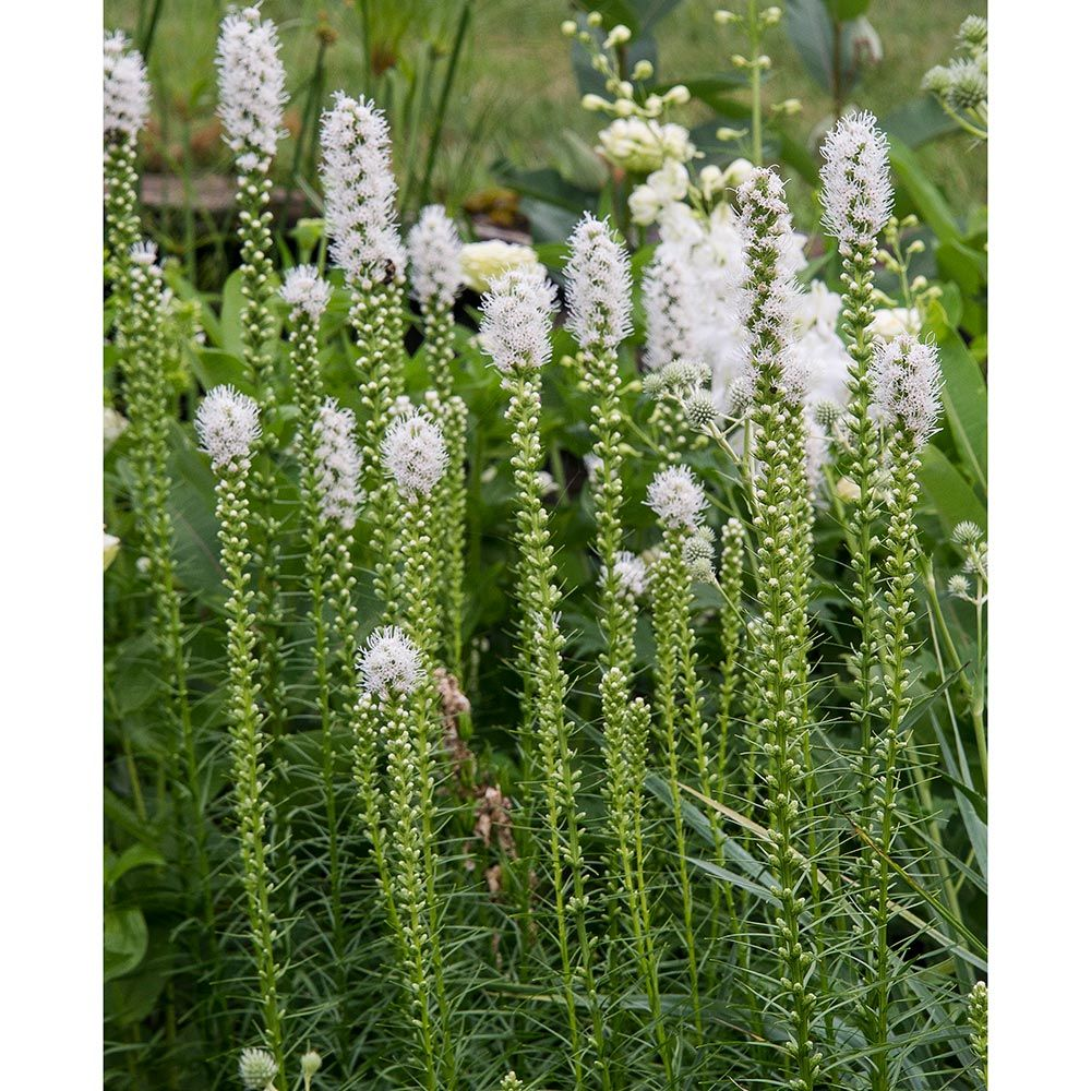 How to Create a Wildlife Sanctuary With Native Plants Liatris Spicata Alba Or Blazing Star #Liatris #AlbaBlazingStar #BlazingStar #AttractsButterflies #AttractsHummingbirds #NativePlants #Gardening #Garden #Landscape #SunLoving #Wildlife #WildlifeSanctuary #BeneficialPollinators #NativePlants