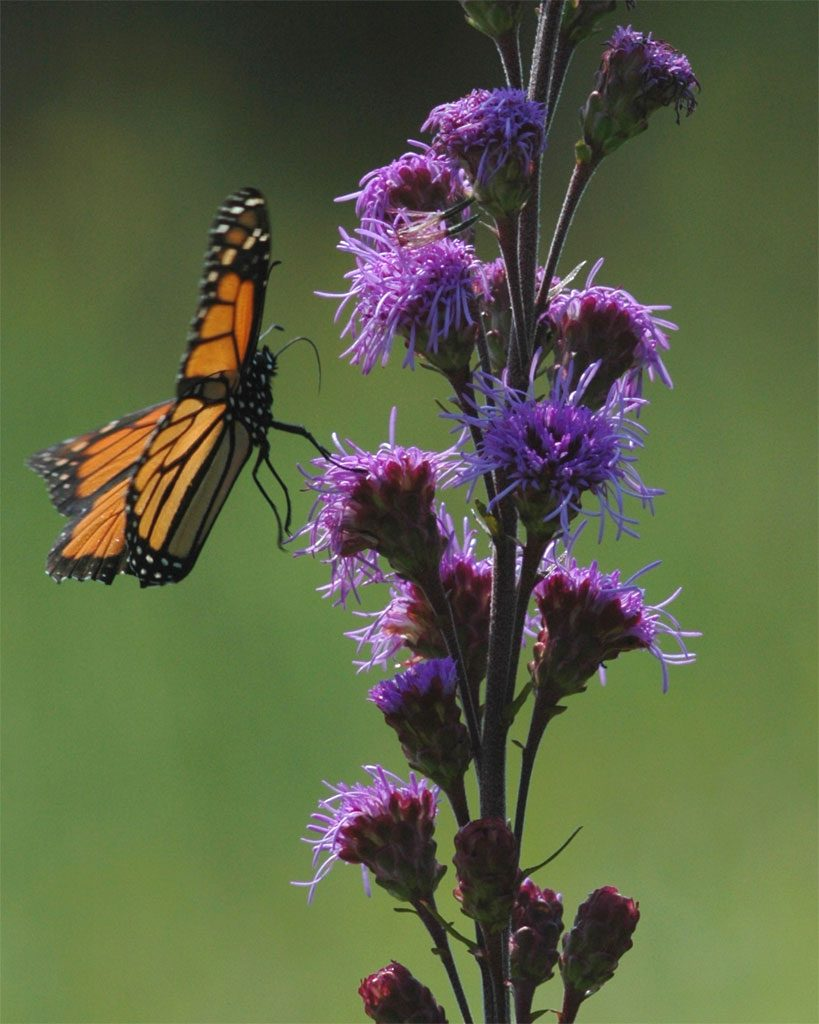 How to Create a Wildlife Sanctuary With Native Plants Meadow Blazing Star Liatris Ligulistylis #Liatris #MeadowBlazingStar #BlazingStar #AttractsButterflies #AttractsHummingbirds #NativePlants #Gardening #Garden #Landscape #SunLoving #Wildlife #WildlifeSanctuary #BeneficialPollinators #NativePlants