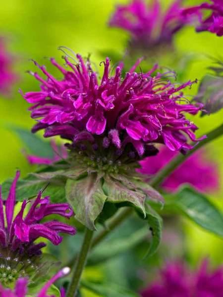 27 Juglone Tolerant Sun Loving Plants For Black Walnut Areas Monarda Purple Rooster or Bee Balm #Monarda #BeeBalm #PurpleRoosterMonarda #DeerResistant #RabbitResistant #AttractsButterflies #AttractsHummingbirds #BeneficialForPollinators #Perennials