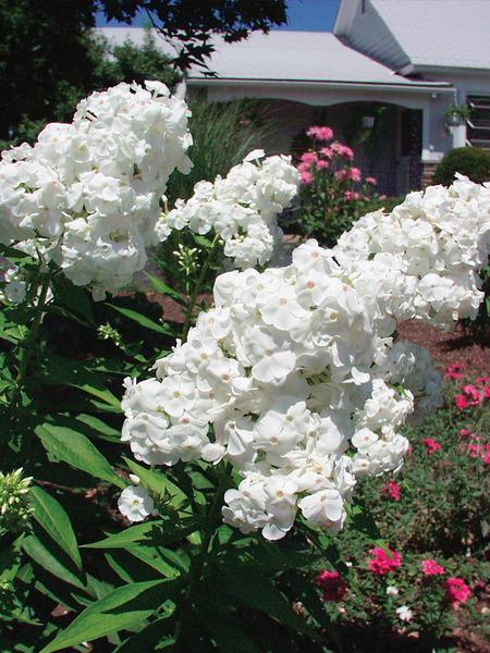 27 Juglone Tolerant Sun Loving Plants For Black Walnut Areas Phlox Paniculata David or Summer Phlox #Phlox #SummerPhlox #GardenPhlox #PhloxPaniculataDavid #Perennials