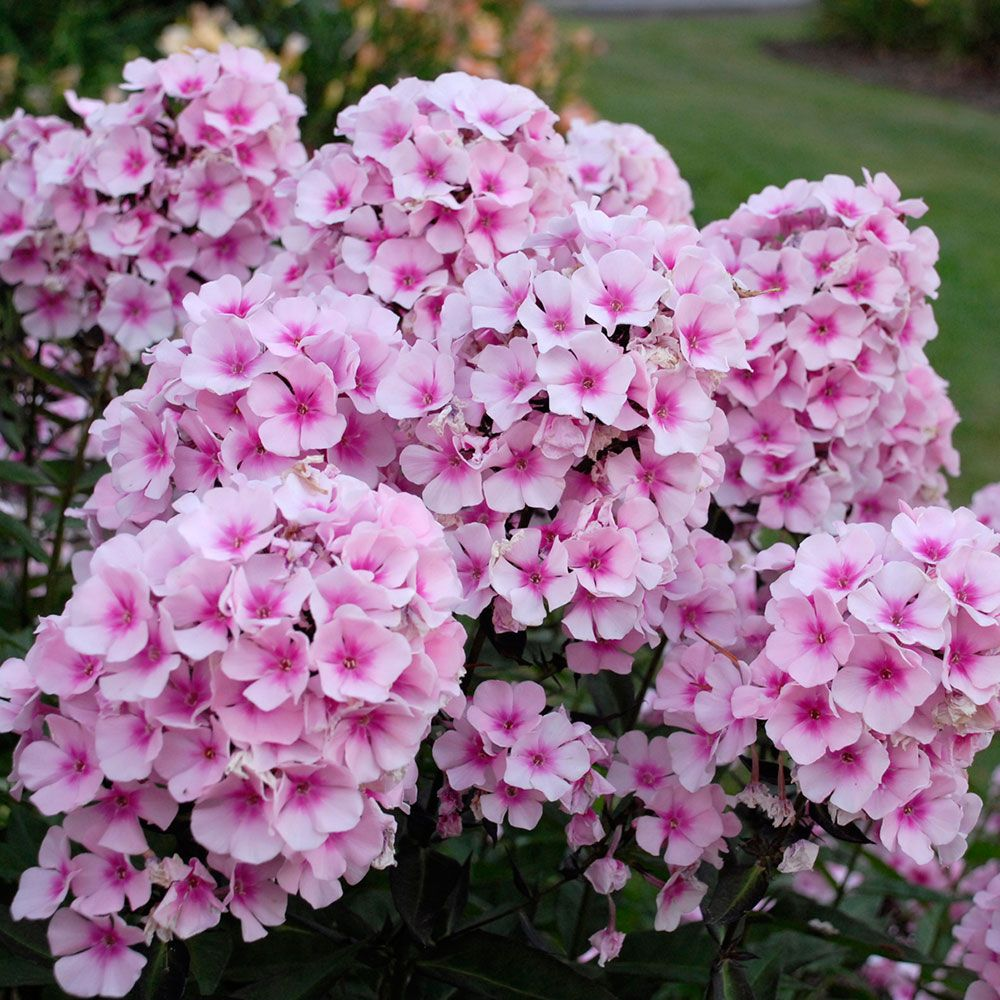 How to Create a Wildlife Sanctuary With Native Plants Phlox Paniculata Bright Eyes Or Garden Phlox #Phlox #GardenPhlox #PhloxBrightEyes #Coneflower #NativePlants #AttractsBirds #AttractsButterflies #Gardening #Garden #Landscape #SunLoving #SummerBlooming #Wildlife #WildlifeSanctuary #BeneficialPollinators #NativePlants