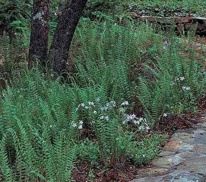 23 Juglone Tolerant Shade Plants Polystichum Acrostichoides or Christmas Fern #Fern #ChristmasFern #DeerResistant #ShadeTolerant #Perennials #Evergreen #Native