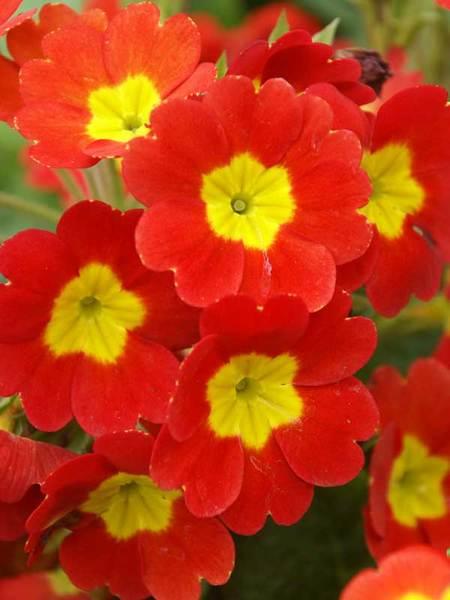 23 Juglone Tolerant Shade Plants Primula Supernova Fire or Primrose #Primula #Primrose #SupernovaFire #SpringBlooming #AttractsButterflies #Cutflowers #ShadeTolerant