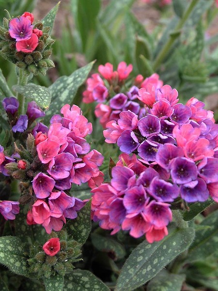 23 Juglone Tolerant Shade Plants For Black Walnut Tree Areas Pulmonaria Raspberry Splash Or Lungwort #Pulmonaria #RaspberrySplashPulmonaria #Lungwort #ContainerGardening #WinterInterest #Gardening #Perennials