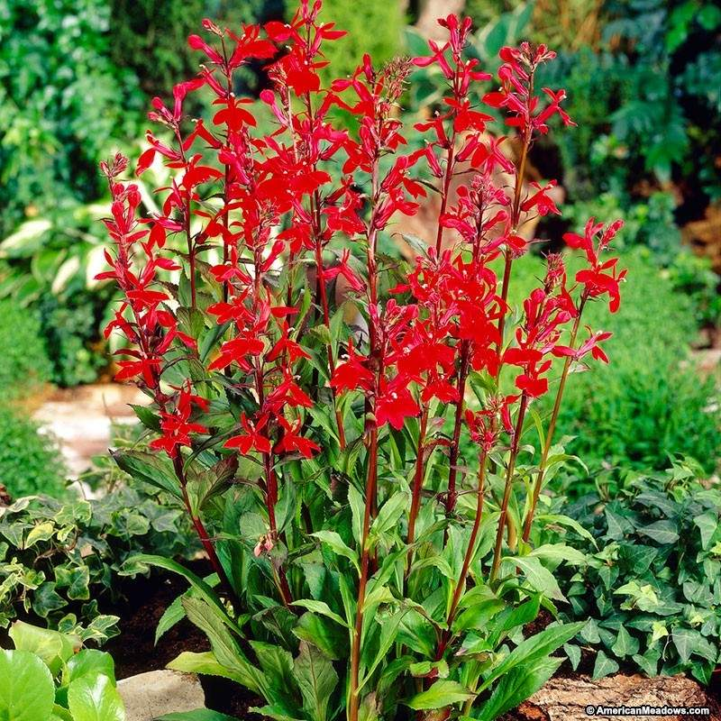 How to Create a Wildlife Sanctuary With Native Plants Red Lobelia Cardinalis Or Cardinal Flower #Lobelia #CardinalFlower #RedLobelia #NativePlants #AttractsButterflies #AttractsHummingbirds #DeerResistant #Gardening #Garden #Landscape #SummerBlooming #Wildlife #WildlifeSanctuary #BeneficialPollinators #NativePlants