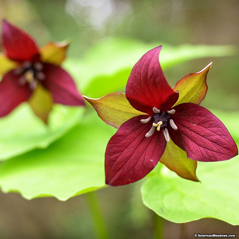 How to Create a Wildlife Sanctuary With Native Plants Red Trillium Or Wake Robin #RedTrillium #WakeRobin #Fragrant #NativePlants #DeerResistant #RabbitResistant #Gardening #Garden #Landscape #ShadeTolerant #SpringBlooming #RockGarden #Wildlife #WildlifeSanctuary #BeneficialPollinators #NativePlants