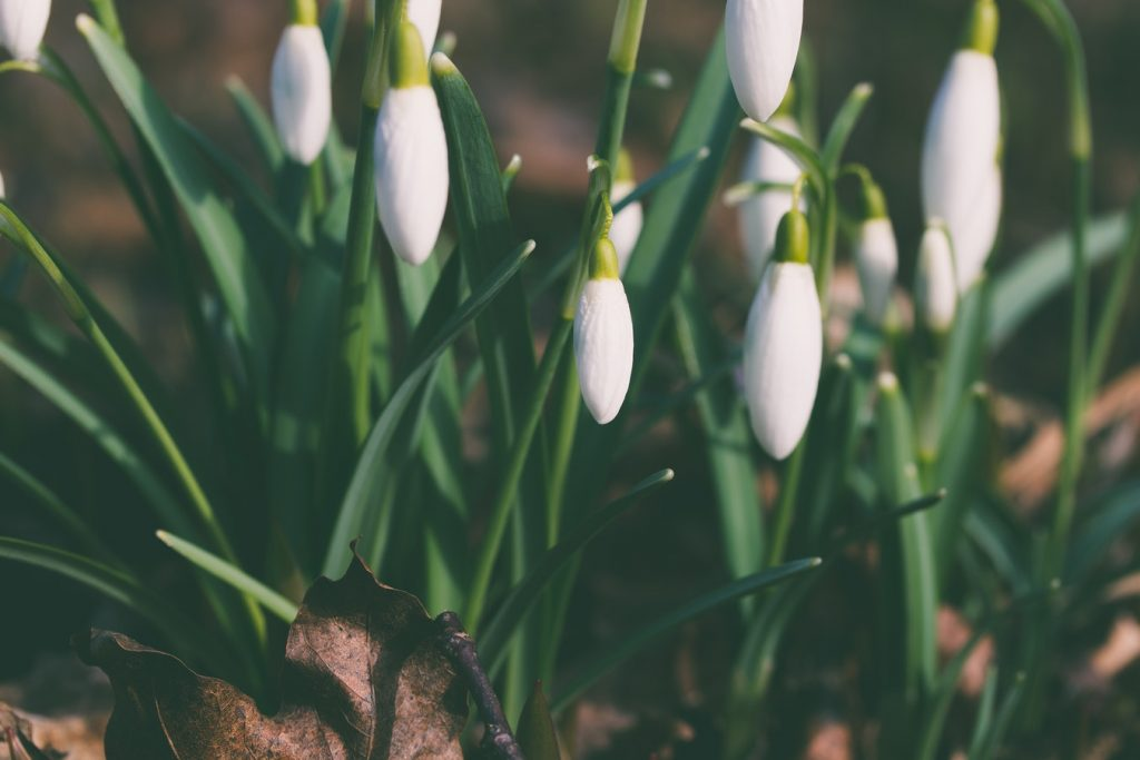 How to Plant Spring Bulbs to Maximize Curb Appeal Snowdrops, Pihtla Parish, Estonia Aliis Sinisalu #PlantSpringBulbs #Gardening #CurbAppeal #SpringFloweringBulbs #SpringBloomingBulbs #DIY #AliisSinisalu #HelloSpring #WelcomeSpring