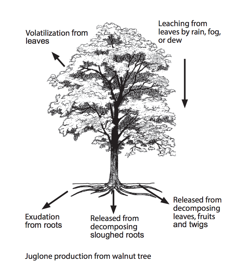 Ultimate Resource Guide to Gardening with Toxic Black Walnut Trees Virginia Tech Diagram Of Black Walnut Tree #BlackWalnutTree #Juglone #JugloneTolerant #Gardening #Garden