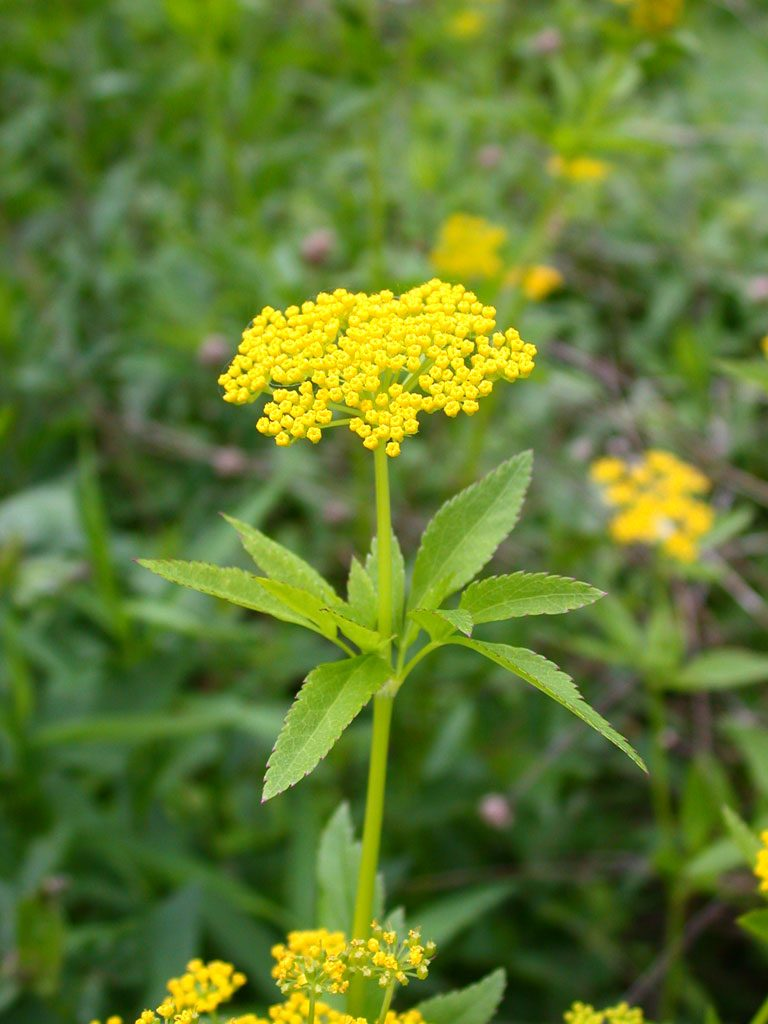 How to Create a Wildlife Sanctuary With Native Plants Zizia Aurea Golden Alexanders #GoldenAlexanders #ZiziaAurea #Gardening #Garden #Landscape #SunLoving #Native #Wildlife #WildlifeSanctuary #BeneficialPollinators #NativePlants