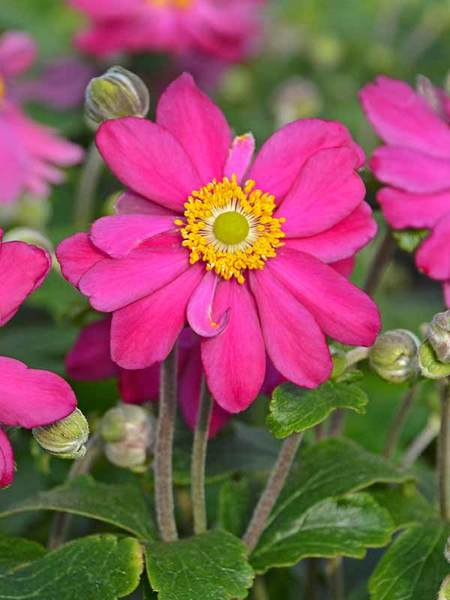 23 Fall Blooming Plants for Pollinators Anemone Pamina Or Windflower #Anemone #AnemonePamina #Windflower #FallBlooming #BeneficialForPollinators