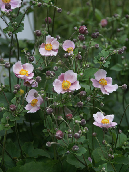 23 Fall Blooming Plants for Pollinators Anemone Robustissima or Windflower #Anemone #AnemoneRobustissima #Windflower #FallBlooming #BeneficialForPollinators