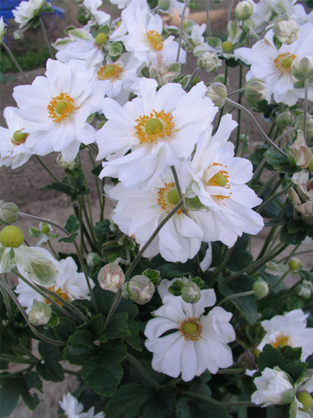 23 Fall Blooming Plants for Pollinators Anemone Whirlwind Or Windflower #Anemone #AnemoneWhirlwind #Windflower #FallBlooming #BeneficialForPollinators