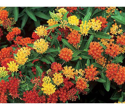 15 Bee Friendly Perennials to Make Your Garden Buzz Asclepias Gay Butterflies Mixture #Wildlife #Perennials #Gardening #BeeFriendly #SaveTheBees #AttractsButterflies #AttractsHummingbirds #DeerResistant #Garden