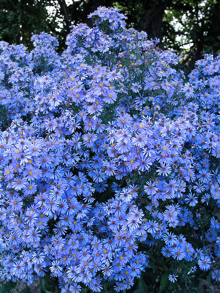 23 Fall Blooming Plants for Pollinators Aster Bluebird Or Michaelmas Daisy #Aster #AsterBluebird #MichaelmasDaisy #FallBlooming #BeneficialForPollinators