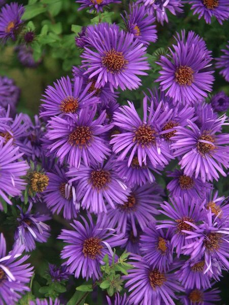 23 Fall Blooming Plants for Pollinators Aster Purple Dome Or New England Aster #Aster #AsterPurpleDome #NewEnglandAster #FallBlooming #BeneficialForPollinators