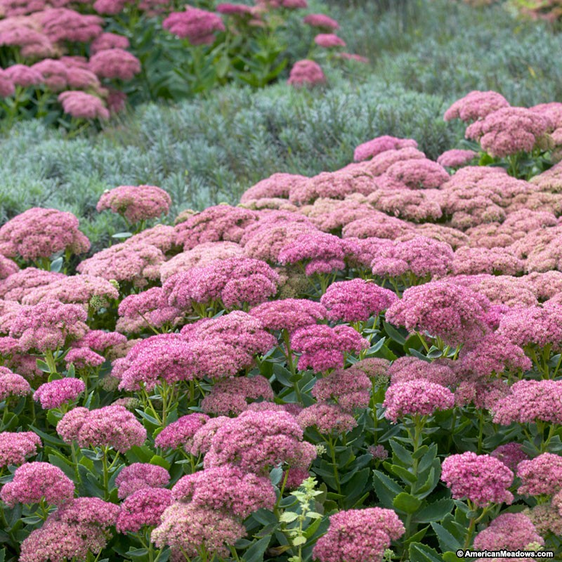 15 Bee Friendly Perennials to Make Your Garden Buzz Autumn Joy Sedum Or Stonecrop #Wildlife #Perennials #Gardening #BeeFriendly #SaveTheBees #AttractsButterflies #AttractsBirds #Native #DeerResistant #RabbitResistant #Garden #RockGarden #SmallSpaceGardening