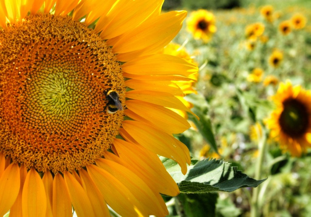 How to Build Habitats for Beneficial Wildlife Bee and Sunflower, Donaueschingen, Germany Morais