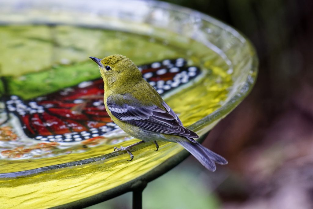 How to Build Habitats for Beneficial Wildlife Bird Drinking From A Birdbath Scott Johnson #Wildlife #HabitatforWildlife #ShelterforWildlife #BeneficialWildlife #BuildHabitatForWildlife #NestBoxes #BugBoxes #BeeHotels #NativePlants #BeneficialPollinators #Birdbath #WaterSource #WaterForWildlife