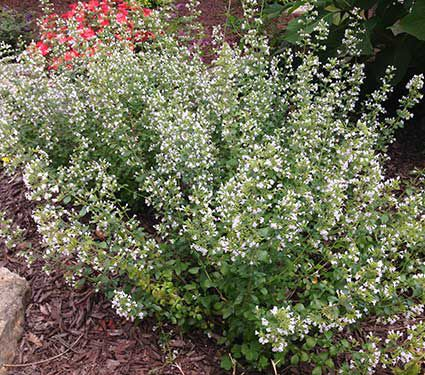 23 Fall Blooming Plants for Pollinators Calamintha Nepeta Nepta Or Calamint #CalaminthaNepetaNepeta #Calamint #FallBlooming #BeneficialForPollinators