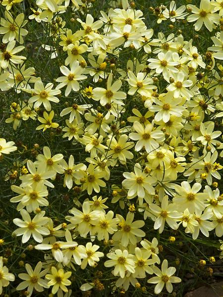 23 Fall Blooming Plants for Pollinators Coreopsis Moonbeam Or Tickseed #Coreopsis #CoreopsisMoonbeam #Tickseed #FallBlooming #BeneficialForPollinators