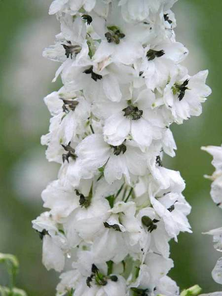15 Bee Friendly Perennials to Make Your Garden Buzz Delphinium Percival Or Perennial Larkspur #Wildlife #Perennials #Gardening #BeeFriendly #SaveTheBees #AttractsButterflies #AttractsHummingbirds #RabbitResistant #Garden