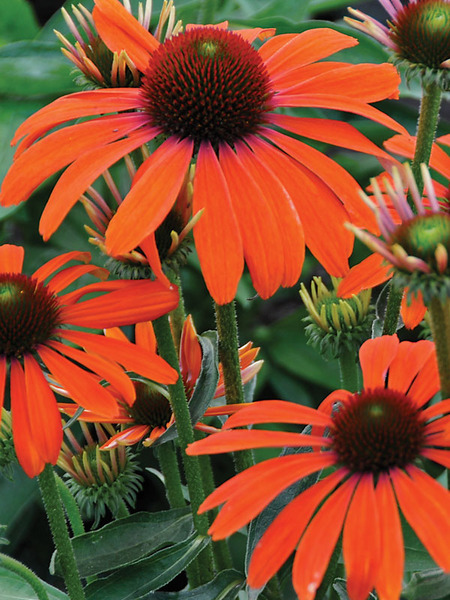 23 Fall Blooming Plants for Pollinators Echinacea Butterfly Julia Or Coneflower #Echinacea #EchinaceaButterflyJulia #Coneflower #FallBlooming #BeneficialForPollinators