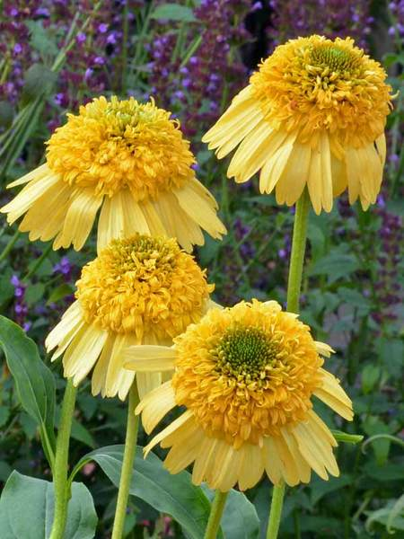 23 Fall Blooming Plants for Pollinators Echinacea Meteor Yellow Or Coneflower #Echinacea #EchinaceaMeteorYellow #Coneflower #FallBlooming #BeneficialForPollinators