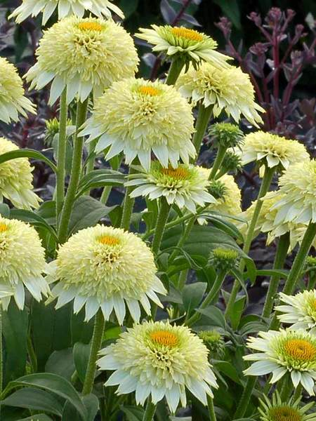 23 Fall Blooming Plants for Pollinators Echinacea Puff Vanilla Or Coneflower #Echinacea #EchinaceaPuffVanilla #Coneflower #FallBlooming #BeneficialForPollinators