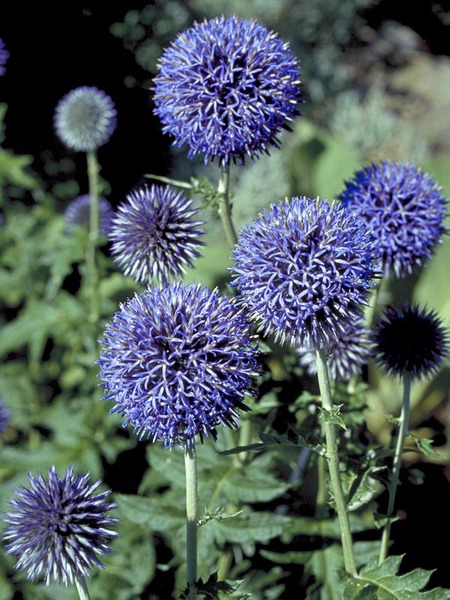 15 Bee Friendly Perennials to Make Your Garden Buzz Echinops Ritro Or Globe Thistle #Wildlife #Perennials #Gardening #BeeFriendly #SaveTheBees #AttractsButterflies #DeerResistant #Garden