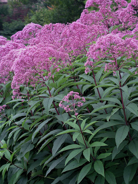 23 Fall Blooming Plants for Pollinators Eupatorium Gateway Or Joe Pye Weed #EupatoriumGateway #JoePyeWeed #FallBlooming #BeneficialForPollinators