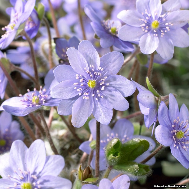 15 Bee Friendly Perennials to Make Your Garden Buzz Hepatica Acutiloba #Wildlife #Perennials #Gardening #BeeFriendly #SaveTheBees #Native #Garden