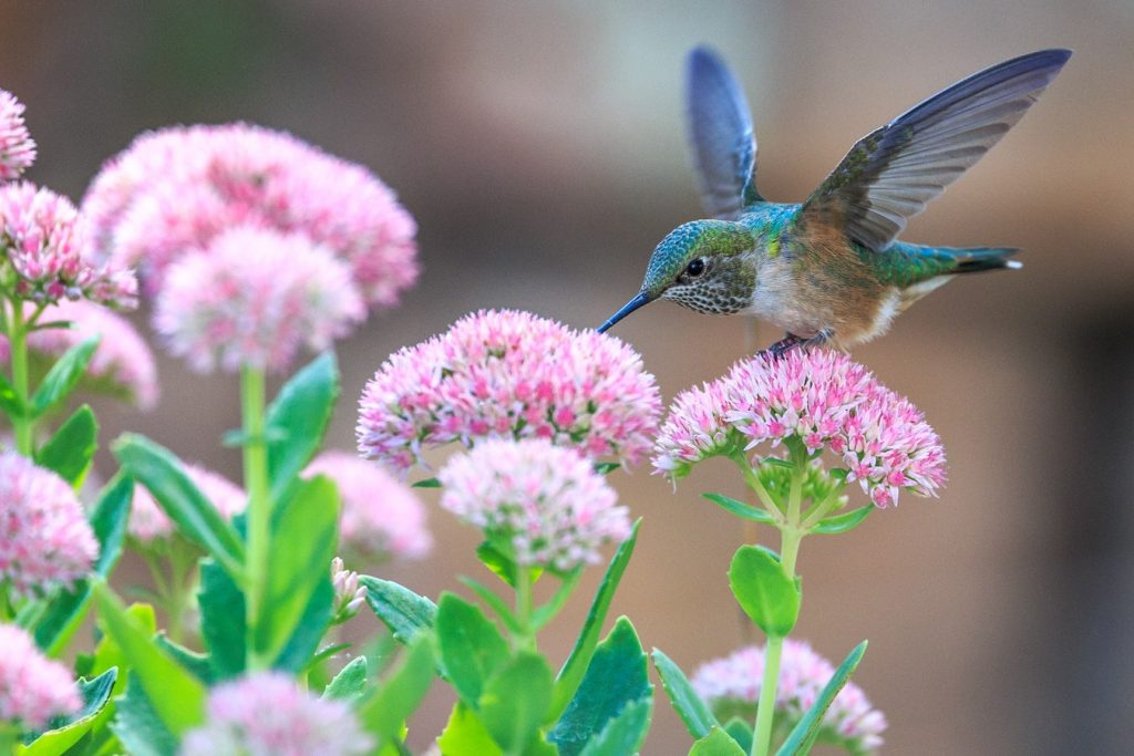 How to Build Habitats for Beneficial Wildlife Hummingbird Drinking Nectar Andrea Reiman #Wildlife #HabitatforWildlife #ShelterforWildlife #BeneficialWildlife #BuildHabitatForWildlife #NestBoxes #BugBoxes #BeeHotels #NativePlants #BeneficialPollinators #Hummingbirds