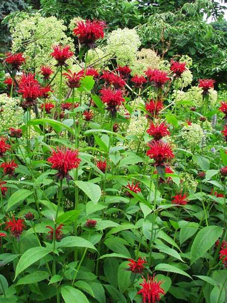 15 Bee Friendly Perennials to Make Your Garden Buzz Monarda Jacob Cline Or Bee Balm #Wildlife #Perennials #Gardening #BeeFriendly #SaveTheBees #AttractsButterflies #AttractsHummingbirds #DeerResistant #RabbitResistant #Garden #BeeBalm