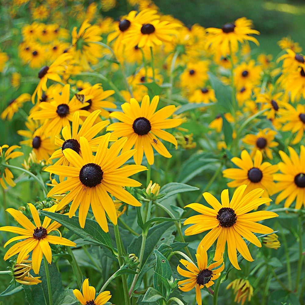 23 Fall Blooming Plants for Pollinators Rudbeckia Goldsturm or Black Eyed Susan #Rudbeckia #Goldsturm #BlackEyedSusan #FallBlooming #BeneficialForPollinators