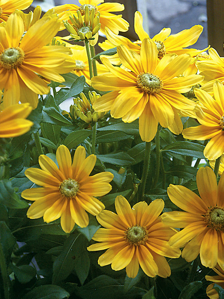23 Fall Blooming Plants for Pollinators Rudbeckia Prairie Sun Or Gloriosa Daisy #Rudbeckia #PrairieSun #GloriosaDaisy #FallBlooming #BeneficialForPollinators