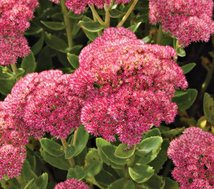 23 Fall Blooming Plants for Pollinators Sedum Autumn Joy Or Stonecrop #Sedum #Stonecrop #AutumJoySedum #FallBlooming #BeneficialForPollinators