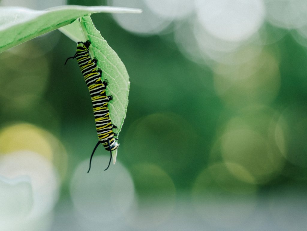 How to Build Habitats for Beneficial Wildlife Tiger Caterpillar Under Leaf Aaron Burden #Wildlife #HabitatforWildlife #ShelterforWildlife #BeneficialWildlife #BuildHabitatForWildlife #NestBoxes #BugBoxes #BeeHotels #NativePlants #BeneficialPollinators