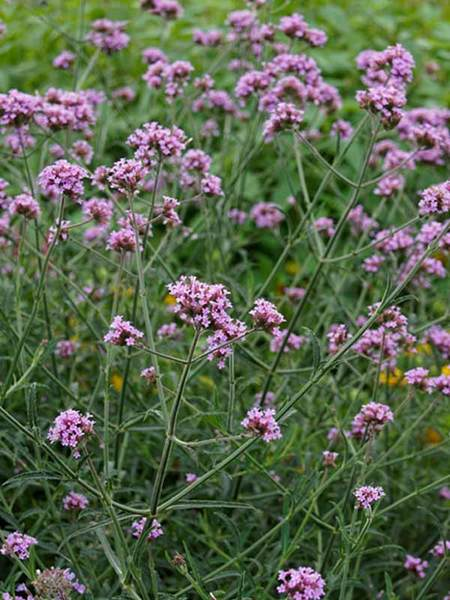 23 Fall Blooming Plants for Pollinators Verbena Bonariensis Lollipop Or Vervain #Verbena #VerbenaLollipop #Vervain #FallBlooming #BeneficialForPollinators