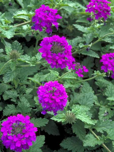23 Fall Blooming Plants for Pollinators Verbena Homestead Purple Or Vervain #Verbena #VerbenaHomesteadPurple #Vervain #FallBlooming #BeneficialForPollinators