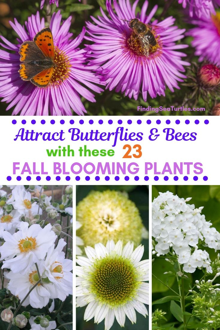 Attract Butterflies Bees With These 23 FALL BLOOMING PLANTS #FallBlooming #Perennials #Gardening #AttractsPollinators #AttractsButterflies #BeeFriendly