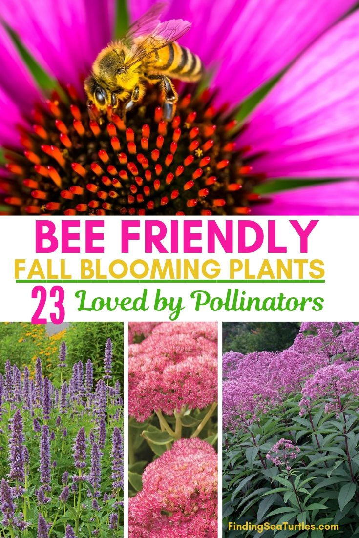 BEE FRIENDLY FALL BLOOMING PLANTS 23 Loved By Pollinators #FallBlooming #Perennials #Gardening #AttractsPollinators #AttractsButterflies #BeeFriendly