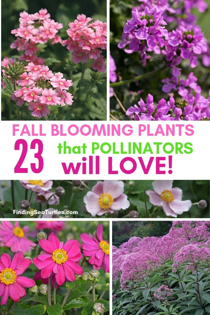 FALL BLOOMING PLANTS 23 That POLLINATORS Will LOVE! #FallBlooming #Perennials #Gardening #AttractsPollinators #AttractsButterflies #BeeFriendly