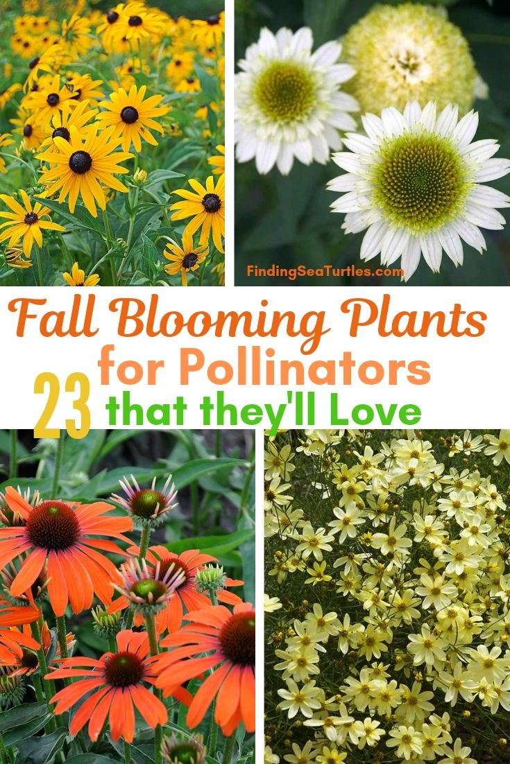 Fall Blooming Plants For Pollinators 23 That They'll Love #FallBlooming #Perennials #Gardening #AttractsPollinators #AttractsButterflies #BeeFriendly