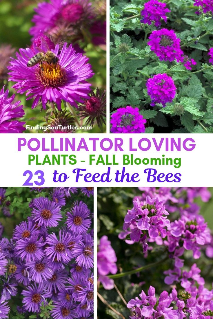 POLLINATOR LOVING PLANTS Fall Blooming 23 To Feed The Bees #FallBlooming #Perennials #Gardening #AttractsPollinators #AttractsButterflies #BeeFriendly