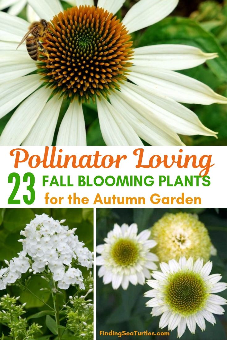 Pollinator Loving 23 Fall Blooming Plants For The Autumn Garden #FallBlooming #Perennials #Gardening #AttractsPollinators #AttractsButterflies #BeeFriendly