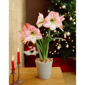 18 Amaryllis Christmas Gifts For Giving Apple Blossom Amaryllis #Gifts #Gardening #GardeningGifts #GardenersGifts #GardenFlowers #Amaryllis #Christmas